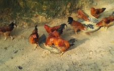 产蛋鸡的天然鸡饲料是什么?