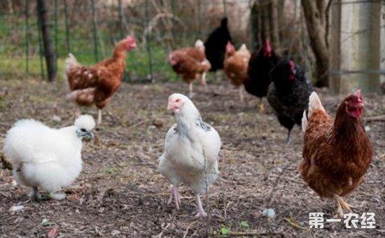 炎炎夏季蛋鸡饲料原料选用要注意什么?