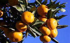 四川省新津县今年将柑橘纳入农业保险范围内