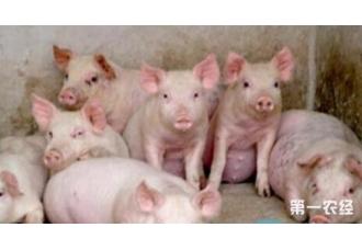 农村养猪的三种模式介绍