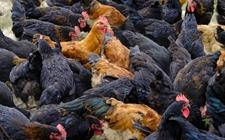 怎样科学调整鸡饲料配方?