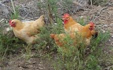 虫子鸡适宜生存的环境是什么?