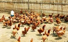 养鸡哪些促生长类添加剂可替代抗菌素?