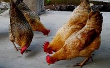 冬季怎样调整蛋鸡饲料配方?