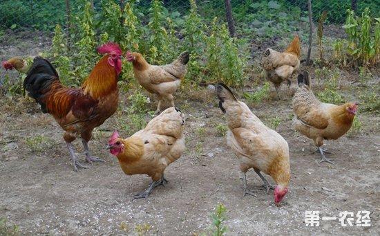 土鸡经常食用的谷实类鸡饲料有哪些?