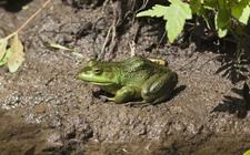 牛蛙的种类有哪些?牛蛙品种图片大全