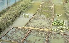 牛蛙常见的病害有哪些?牛蛙常见疾病的防治