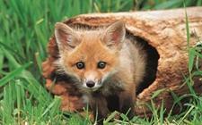 什么是狐脐炎病?狐脐炎病的防治方法介绍