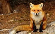 <b>狐狸患有脑脊髓炎怎么办?狐狸脑脊髓炎的防治</b>