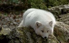 北极狐是种什么动物?关于北极狐资料介绍