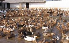春夏季节鸭子的流行病症有哪些?春夏鸭子流行病的防治