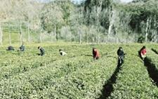 甘肃康县:冬季茶园管理忙 修剪施肥加防冻