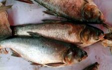 白鲢鱼染上疾病怎么办?白鲢鱼常见疾病的防治方法