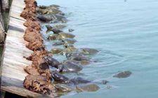 甲鱼出血病怎样防治?