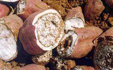 红薯软腐病有哪些症状?怎样防治红薯软腐病?