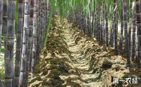 甘蔗花叶病的发生途径是什么?怎样预防?