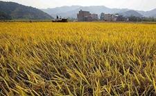 江西水稻创下新记录平均亩产974.5公斤