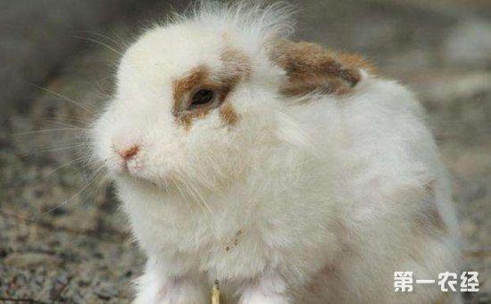 兔子常见的疾病有哪些?兔子常见疾病的预防与治疗