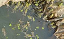 如何养殖青蛙?青蛙的高效养殖技术