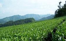 <b>贵州:700万亩茶园 年产茶叶32万吨</b>