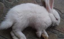 兔球虫病的防治方法
