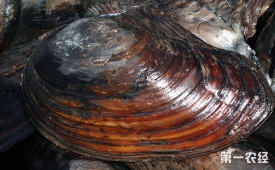 河蚌如何繁殖?河蚌的人工繁殖育苗方法