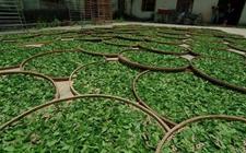 2017年我国茶叶产量增加 结构优化