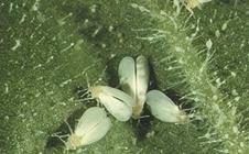 大棚黄瓜白粉虱的发生与防治