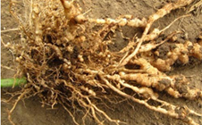 大棚黄瓜根结线虫如何防治?大棚黄瓜根结线虫的防治措施