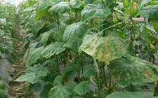 黄瓜有哪些常见病?黄瓜春季常见病的症状及防治措施