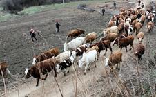 """<b>养牛能手张宝华:脱贫路上的""""致富牛""""</b>"""
