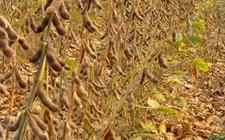上周美国对华大豆出口检验量低于前一周
