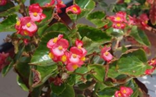 四季海棠叶子发黄怎么办,5种原因及处理方法