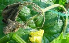 什么是黄瓜蔓枯病?黄瓜蔓枯病该如何防治?