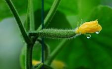 大棚黄瓜如何增产?大棚黄瓜增产技巧