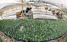 """<b>广西柳州:绿色茶园成百姓脱贫致富的""""摇钱树""""</b>"""