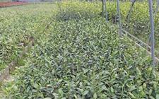 新昌冷水村家家有茶园 茶农扦插茶苗增收上千万