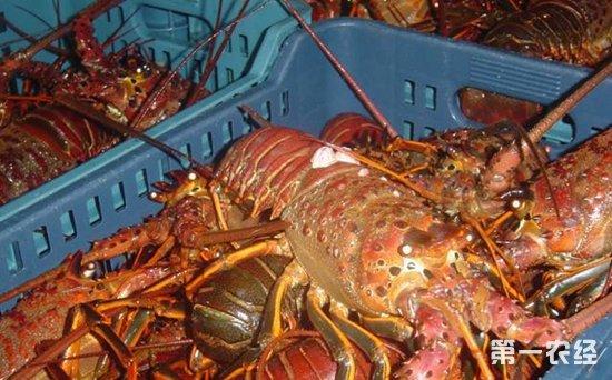 红龙虾、澳洲龙虾、青龙虾等龙虾价格