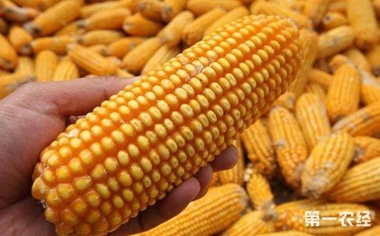 吉林长春玉米价格连续上涨