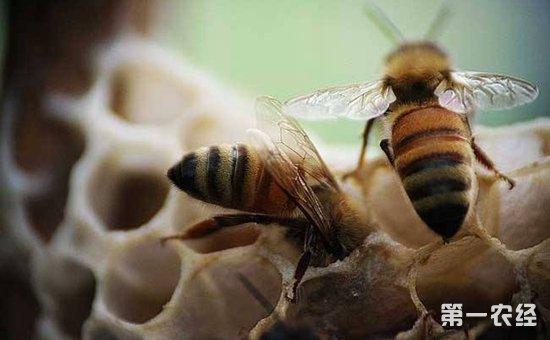 蜜蜂养殖怎么管理?蜜蜂的安全越冬养殖技术