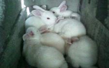 兔子耳痒病怎么防治?兔子耳痒病的综合防治措施
