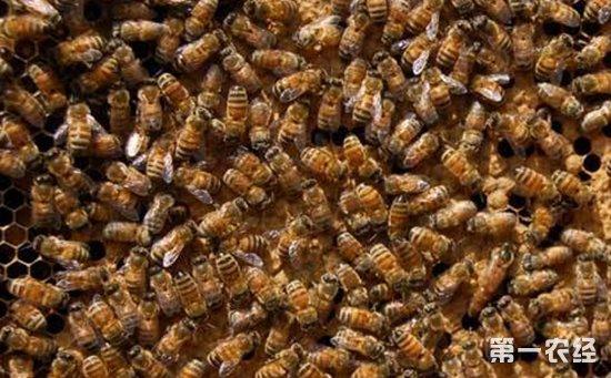 蜜蜂螺原体病用什么药?蜜蜂螺原体病的病症与防治