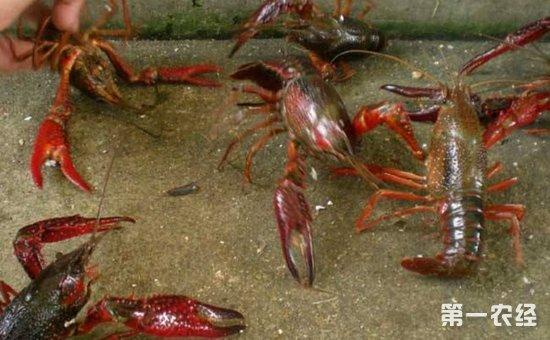 小龙虾养殖如何实现高产?小龙虾的高产养殖技术