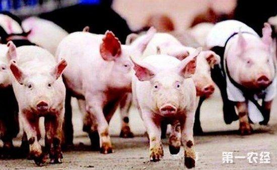 生猪价格走势上幅度上涨   临近春节将会出现波动