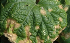 什么是黄瓜炭疽病?黄瓜炭疽病的症状及防治措施