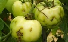 什么是番茄筋腐病?番茄筋腐病的诊断与防治