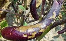 <b>大棚茄子菌核病的发病症状及综合防治技术</b>