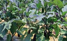 大棚茄子如何育苗?大棚茄子育苗技术