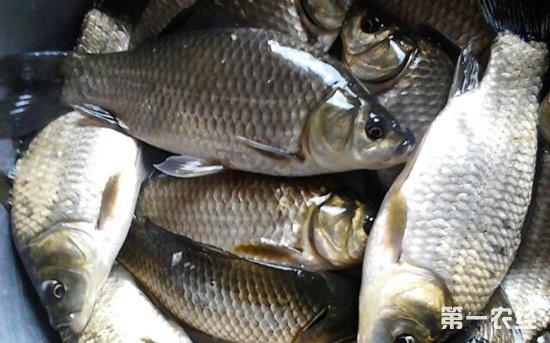 2018年1月5日全国活鲫鱼市场价格