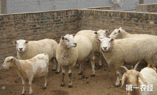 齐齐哈尔龙江县:肉羊生产效益利润可观